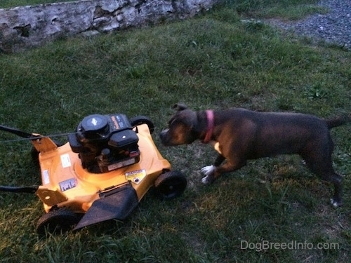 A blue nose American Bully Pit is jumping at a yellow and black lawn mower.