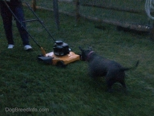 A blue nose American Bully Pit is darting at a yellow and black lawn mower in grass.