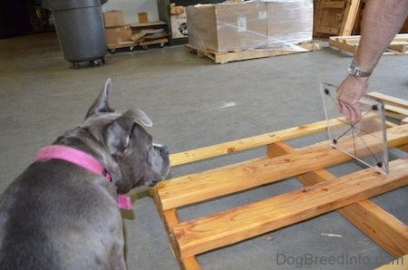 A blue nose American Bully Pit is looking over at a person putting a glass piece on a wooden frame.