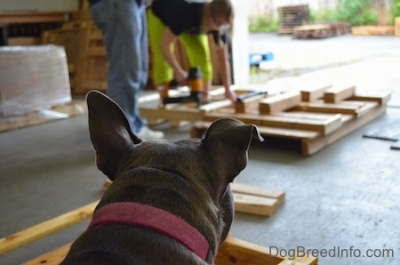 The back of a blue nose American Bully Pit that is watching a lady build a wooden frame.