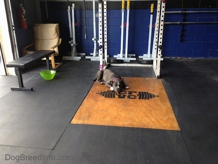 A blue nose American Bully Pit is laying down on a piece of wood that is surrounded by a black mat at a cross fit gym.
