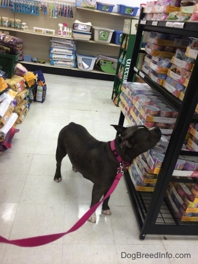 A blue nose American Bully Pit is standing on a tiled floor and she is sniffing packages of food on a shelf.