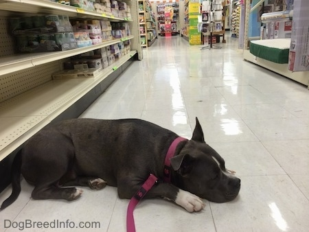 A blue nose American Bully Pit is laying down on a shiny white tiled pet store floor.