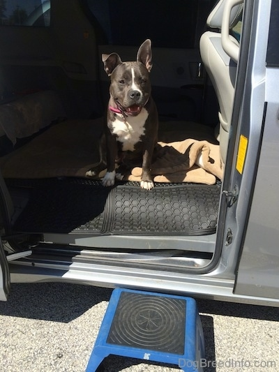 A blue nose American Bully Pit is sitting in the middle of a van that has its middle seats removed. The sliding door is open and there is a fold up blue and lack step in front o the door. The dog looks happy.