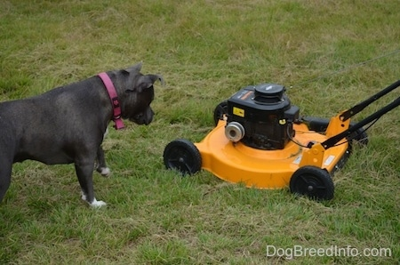 A blue nose American Bully Pit is looking down at a yellow and black lawn mower.