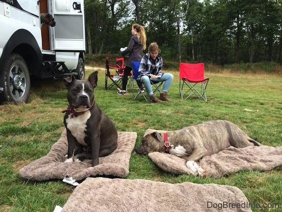 A blue nose American Bully Pit is sitting on a dog pillow. Laying next to her is a blue nose Pit Bull Terrier that is sleeping on a dog pillow. There is a girl sitting in a lawn chair and wittling. There is a person walking into a Tiger Adventure Vehicle RV camper.