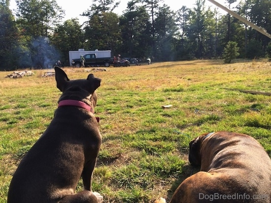 A blue nose American Bully Pit is sitting in grass and laying next to her is a blue nose Pit Bull Terrier. They are looking across the field at people walking around with a pick up truck, trailer, 4 wheelers and motorcycles.