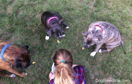 A circle of three dogs and a girl in a maroon and blue plaid shirt are sitting in a circle and looking down at treats in the grass.