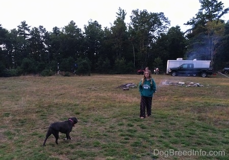 A blue nose American Bully Pit is bringing a stick in her mouth to a girl in a green hoodie in the middle of a field.