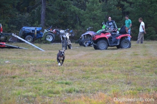 A blue nose American Bully Pit is running across a field. In the background there are men standing around dirt bikes and four wheelers.