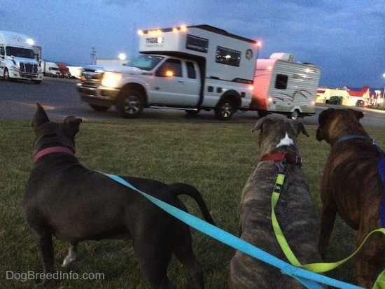 The back of Three Dogs sitting in grass and looking out to a parking lot full of trucks and a Tiger Adventure Vehicle RV built on a Ford truck pulling a camper.