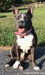 A blue nose American Bully Pit is sitting on a blacktop surface and she is looking forward. Her mouth is open and both of her ears are up. It looks like she is smiling.