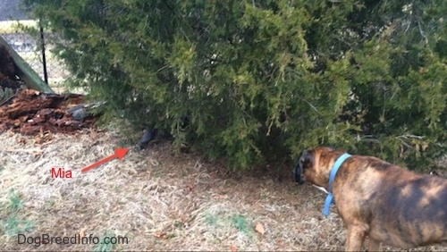 A blue nose American Bully Pit puppy is standing under a bush as a brown brindle Boxer dog watches.