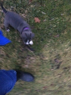 Top down view of a blue nose American Bully Pit puppy walking around a person in grass.