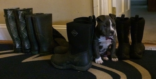 A blue nose American Bully Pit puppy is sitting on a rug  in between a line of boots. She blends in quite nicely about the same height as the boots.