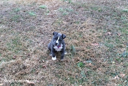 A tiny blue nose American Bully Pit puppy is sitting in grass and she is looking forward. Her head is tilted to the right.