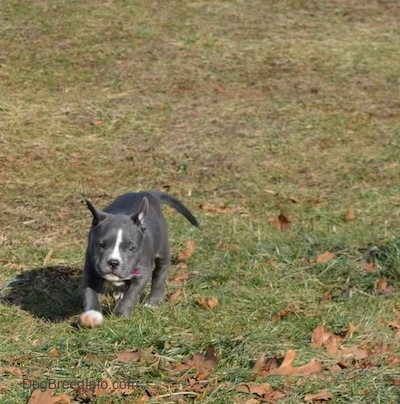 A blue nose American Bully Pit puppy is running across grass and brown leaves.