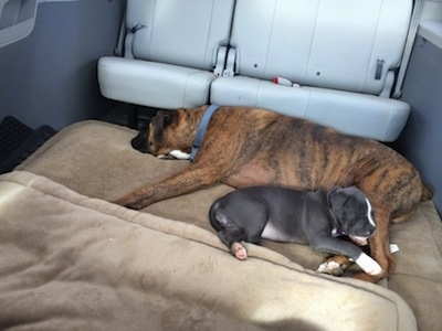 A brown with black and white Boxer is sleeping on a dog bed and sleeping in between his legs is a blue nose American Bully Pit puppy. They are in the middle of a mini van that has seats removed.