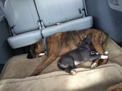 A brown with black and white Boxer is sleeping on a dog bed and a blue nose American Bully Pit puppy has her head on the legs of the Boxer inside of a mini van that has the middle seats removed.