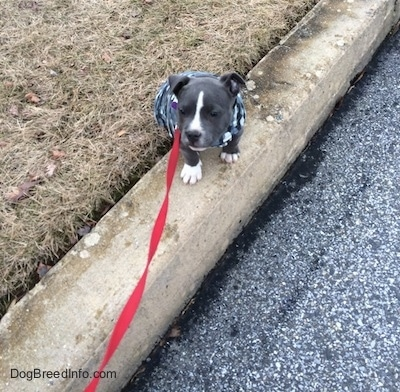 A tiny blue nose American Bully Pit puppy is sitting on a curb and looking forward. She is wearing a grey camo dog vest.
