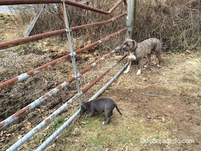 A blue nose American Bully Pit puppy is sniffing a metal farm gate. Next to her is a blue nose Pit Bull Terrier.