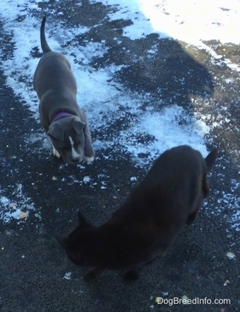 A blue nose American Bully Pit puppy is standing on a black top that has some snow on it. There is a black Cat walking in front of the puppy