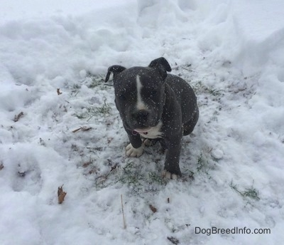 A blue nose American Bully Pit puppy is sitting in a patch of grass surrounded by snow. It is actively snowing.