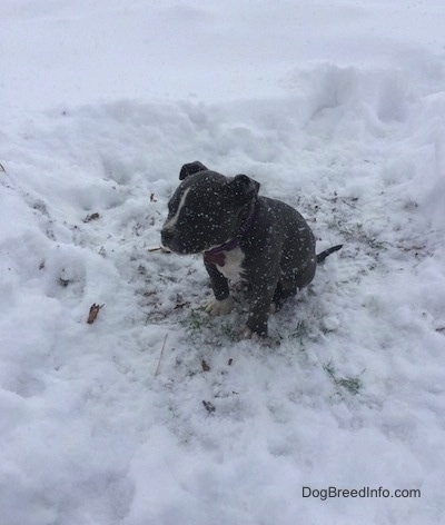 A blue nose American Bully Pit puppy is sitting in a patch of grass with deeper snow all around her. It is actively snowing. She is looking to the left.