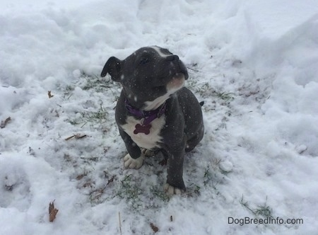 A blue nose American Bully Pit puppy is sitting in a patch of grass, that is surrounded by snow. It is actively snowing. She is looking up and to the right.