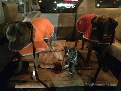 A blue nose Pit Bull Terrier is wearing an orange vest, next to him is a blue nose American Bully Pit sitting on a dog bed in a camo vest and next to her is a brown with black and white Boxer that is wearing a red vest. They are standing in a mini van that has the middle seats removed.