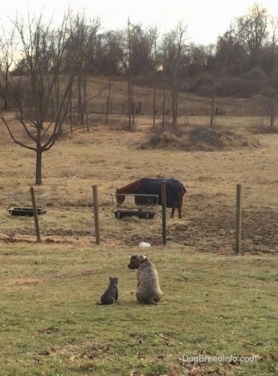 The back of a blue nose American Bully Pit puppy and a blue nose Pit Bull Terrier that are sitting in grass. The Terrier is looking down at the puppy and the puppy is looking at the horses in the background.