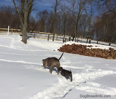 The backside of a blue nose Pit Bull Terrier and a blue nose American Bully Pit puppy that are walking through snow.