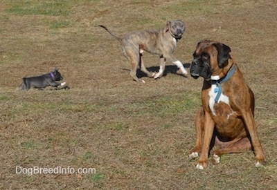 A blue nose American Bully Pit puppy is running behind a blue nose Pit Bull Terrier. A brown brindle with black and white Boxer is sitting in grass and looking to the left.