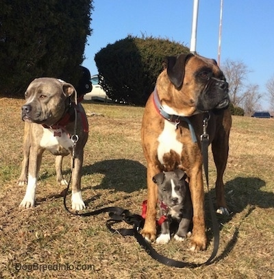 A blue nose Pit Bull Terrier is standing in grass and looking to the left. Across from him is a brown brindle Boxer that is looking to the right. In between the legs of the Boxer is a small blue nose American Bully Pit puppy looking forward.