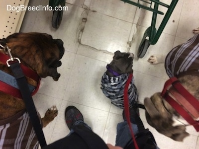 A top down view of two dogs and a puppy sitting in between a cart and the cart pusher in the isle of a pet store.