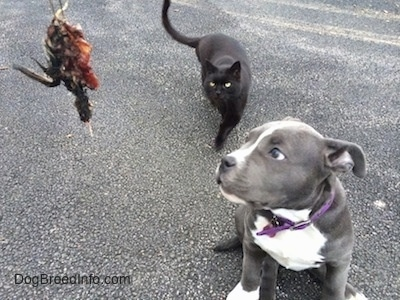 A person is holding a piece of a dead bird. A black Cat is walking across a blacktop surface. A blue nose American Bully Pit puppy is sitting on a blacktop surface looking at the dead bird.