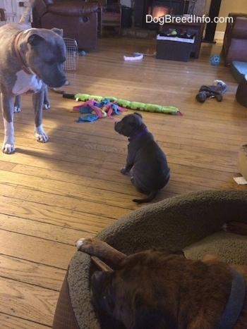 A blue nose American Bully Pit puppy is sitting on a hardwood floor. The puppy is looking at a blue nose Pit Bull Terrier standing in front of it. There is a black with brown and white Boxer laying in a dog bed chewing on a dog bone. There are dog toys all over the floor.