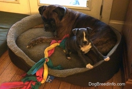 A brown with black and white Boxer is laying in the back of a dog bed. In front of it is a blue nose American Bully Pit puppy standing against the edge of the dog bed. There is a cloth dog toy next to them.