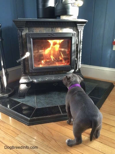 The backside of a blue nose American Bully Pit puppy looking at a wood-burning stove that has an active fire burning in it. The puppy has her head tilted to the right.
