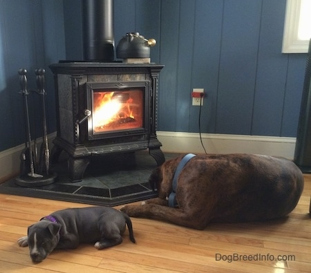 A blue nose American Bully Pit puppy and the backside of a brown with black brindle and white Boxer are laying in front of a wood-burning stove.