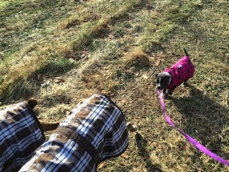 A blue nose American Bully Pit puppy is wearing a pink jacket and behind two dogs who are both wearing brown plaid vests.