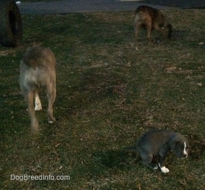The backside of a blue nose Pit Bull Terrier and a brown with black and white Boxer looking for a spot to potty. A blue nose American Bully Pit puppy is squatting in grass and pooping.