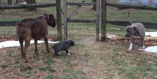 The sides of a brown with black and white Boxer, a blue nose Pit Bull Terrier and a blue nose American Bully Pit puppy are standing in grass and there is a wooden fence behind them.