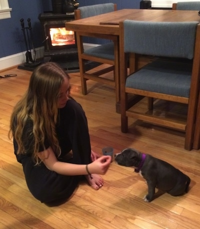 A blonde haired girl is sitting on a hardwood floor in front of a sitting blue nose American Bully Pit puppy. She is feeding the puppy a treat.
