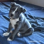 The front left side of a black with white American Bully puppy that is sitting on dog bedb. Its head is slightly tilted to the right and it is looking forward.