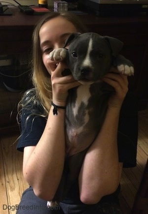 A blonde haired girl is holding up a blue nose American Bully Pit puppy up by the front paws exposing the puppies belly.