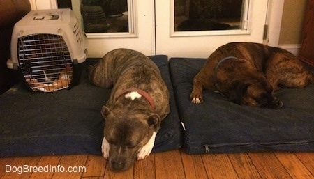 A blue nose American Bully Pit puppy is laying on a blanket inside of a crate and on top of a blue pillow. There is a blue nose Pit Bull Terrier sleeping on the same blue pillow and next to him is a brown with black and white Boxer sleeping on the next dog bed over.