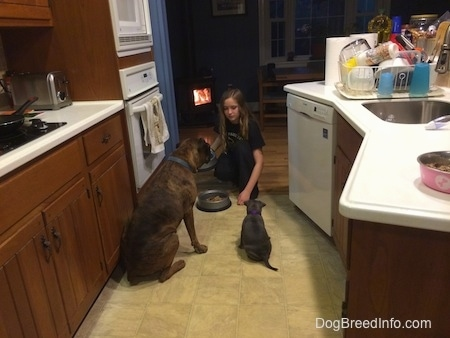 A blonde haired girl is holding a food dish and there is a food dish in front of her. The back of a brown with black and white Boxer dog is sitting next to a blue nose American Bully Pit puppy. The Boxer and puppy are waiting for the blonde haired girl to place the food dish down.