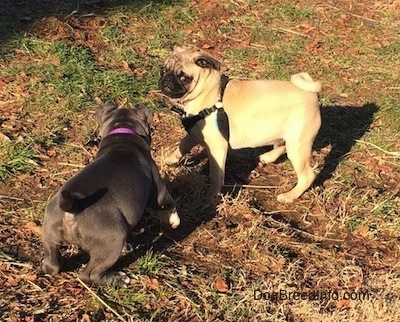 A blue nose American Bully Pit puppy is preparing to jump at a tan with black Pug puppy.
