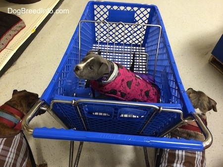 A blue nose American Bully Pit is sitting in the front seat of a blue cart. A brown brindle Boxer and a blue nose Pit Bull Terrier are standing on each side of it.
